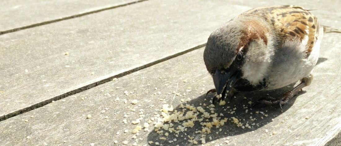 Un uccellino che mangia briciole di pane
